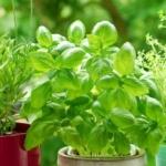 Bylinky na váš talíř: jak je pěstovat a které nesmí chybět